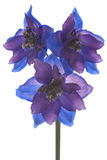 Delphinium Stock Photography