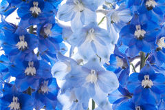 Delphinium. Studio Shot of Blue Colored Delphinium Flowers on White Background. Macro royalty free stock photography