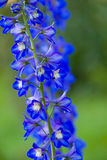 Delphinium photographie stock