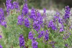 Фиолетовые цветки delphinium Стоковые Фотографии RF