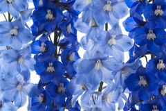 Delphinium background Royalty Free Stock Images