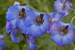 Delphinium Royalty Free Stock Images