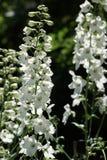 Delphinium blanc images stock