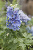 Delphinium - bleu de ciel Photos stock