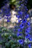 Delphinium blu Fotografia Stock