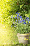 Delphinium in clay pot in sunny garden Royalty Free Stock Images