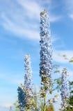 Delphinium dans un jardin Photographie stock
