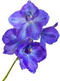 Delphinium. Dark blue delphinium flower isolated on white stock photo