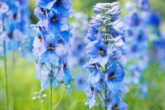 Delphinium de fleur Images stock
