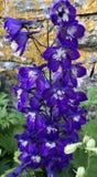Delphinium. Dark Blue royalty free stock photos