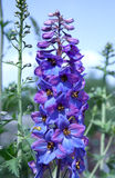 Delphinium flower Royalty Free Stock Image
