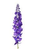 Delphinium flower Stock Image