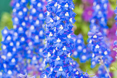 Delphinium flower in the garden. Blue delphinium flower blossomed in the garden royalty free stock photography