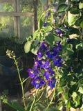 Delphinium Flower Larkspur. Purple Delphinium that is also called Larkspur in the greenhouse Stock Images