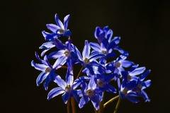 Delphinium flower Royalty Free Stock Photography
