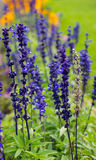 Delphinium flowers background Royalty Free Stock Images