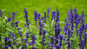 Delphinium flowers background Royalty Free Stock Photography