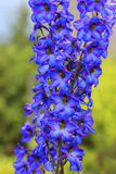 Delphinium flowers closeup Royalty Free Stock Images