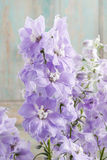 Delphinium flowers Royalty Free Stock Image