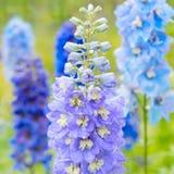 Delphinium flowers in nature. Blue delphinium flowers close up stock image