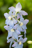 Delphinium flowers after the rain Royalty Free Stock Images