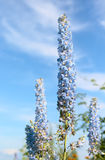 Delphinium in a garden. Delphinium blue against the blue sky with clouds Stock Photography