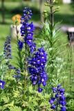 Delphinium kwiaty Zdjęcia Stock