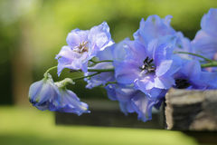 Delphinium - larkspur close-up Stock Images