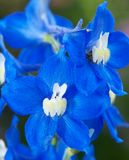 Delphinium or larkspur flower royalty free stock photos