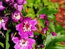 Delphinium larkspur `Magic Fountain Pink` closeup Stock Photography