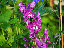 Delphinium larkspur `Magic Fountain Pink` closeup Stock Photo