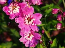 Delphinium larkspur `Magic Fountain Pink` closeup Stock Image