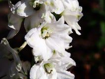 Delphinium - larkspur. White Delphinium - larkspur in full bloom royalty free stock image