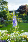 Delphinium 'After Midnight', close up of abundant blue flowers on a single stem. In the garden stock images