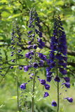 Delphinium is a perennial flower in the garden Stock Image