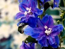 Delphinium. Purple Delphinium flower stalk in bloom Royalty Free Stock Photos