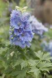 Delphinium - Sky Blue. Single blue stem of delphinium - Sky Blue stock photos