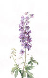 Delphinium watercolor painting Royalty Free Stock Photos