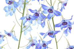 Delphinium in a white background Stock Images