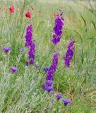 Степь delphinium Wildflowers весной Стоковое Изображение RF
