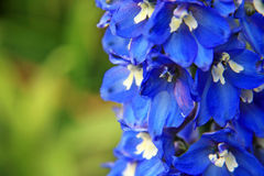 delphiniums Fotografia Royalty Free