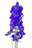 Delphiniums azul marino imagen de archivo libre de regalías