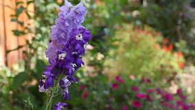 Delphiniums in a flower border stock video footage