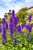 Delphiniums in a herbaceous border. Stock Photos
