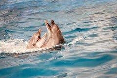 Delphinpaare im Wasser Lizenzfreie Stockbilder