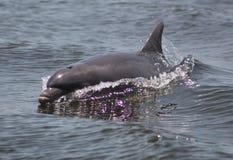 Delphinschwimmen neben dem Boot Stockbilder