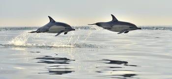 Delphinschwimmen und Springen vom Wasser stockfoto