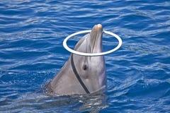 Delphinspiele mit Ring Lizenzfreie Stockfotos