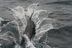 Delphinspritzen Stockfotografie