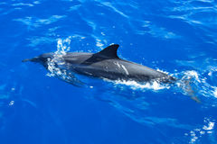 DelphinSwim zusammen mit Boot Stockfotografie